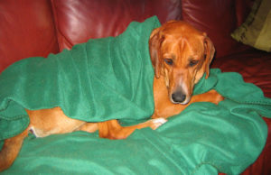 kranker hund sofa Dan Harrelson: Rusty the Patient – CC BY 2.0